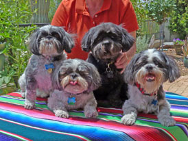 shih tzus pet portrait before processing